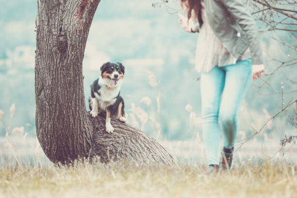 Australian shepherd dog in action, jumping over a trunk in a forest, Lecco, Lombardy, Italy