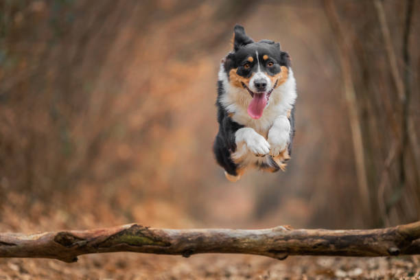 Australian shepherd dog jumping over a trunk, Lecco, Lombardy, Italy