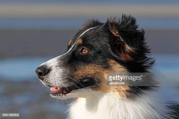 Australian Shepherd dog male portrait domestic dog