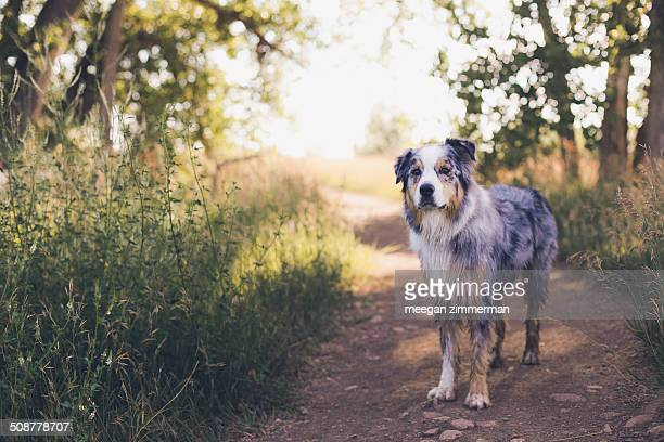 Australian shepherd dog on trail