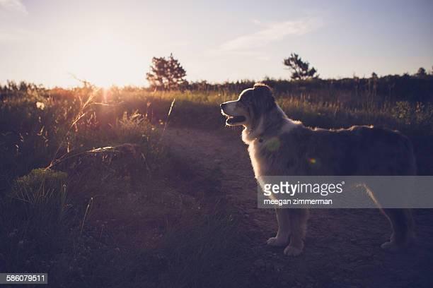 Australian shepherd dog standing in morning light