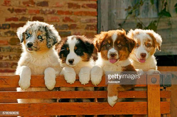Australian shepherd dogs, Canis familiaris, four puppies leaning on wooden fence.