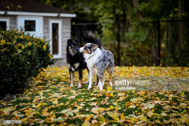 australian shepherd dogs in autumn - angela auclair stock pictures, royalty-free photos & images