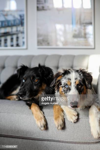 australian shepherd dogs sit together - australian shepherd puppies stock pictures, royalty-free photos & images