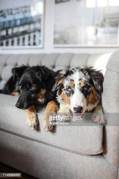 australian shepherd dogs sit together - australian shepherd dogs stock pictures, royalty-free photos & images