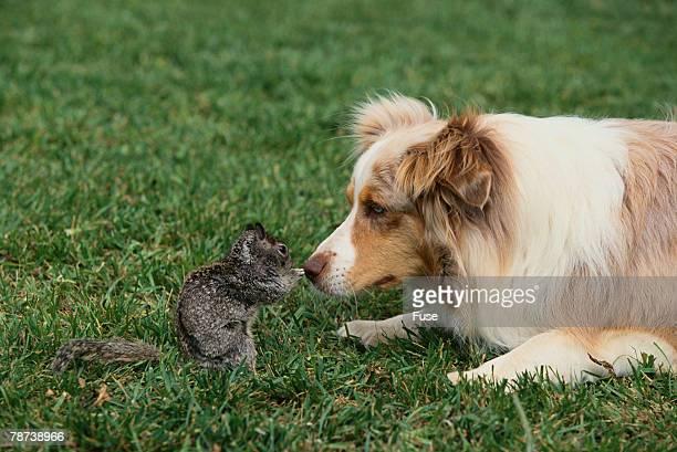 Australian Shepherd Facing off a California Ground Squirrel