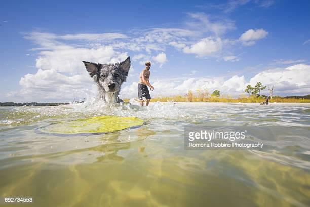 Australian Shepherd fetching flying disc from sea, Fort Walton Beach, Florida, USA