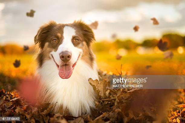 Australian Shepherd in fall