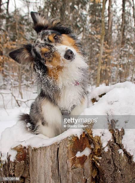 Australian Shepherd in log