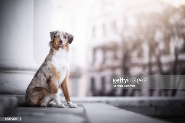 Australian Shepherd in the city