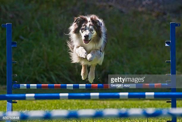 Australian Shepherd Jumping Hurdle