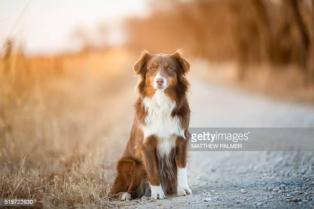 Australian Shepherd on Country Road