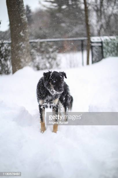 Australian Shepherd (s) Playing in Snow