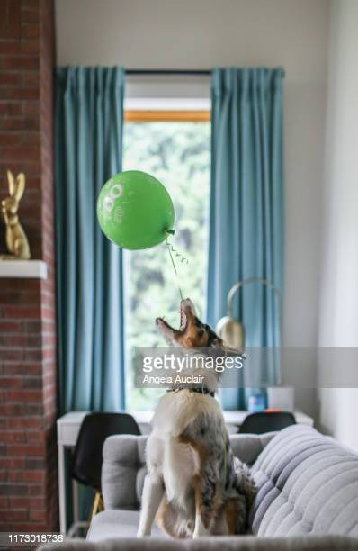 australian shepherd puppy and his balloon - angela auclair stock photos and pictures