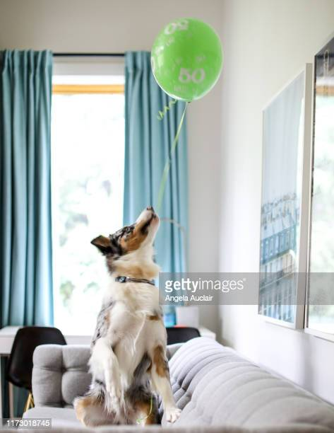 australian shepherd puppy and his balloon - angela auclair stock pictures, royalty-free photos & images