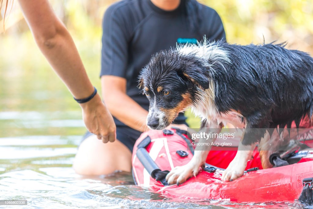 Australian Shepherd Puppy At Its First Water Rescue Training Lombardy Italy High Res Stock Photo Getty Images