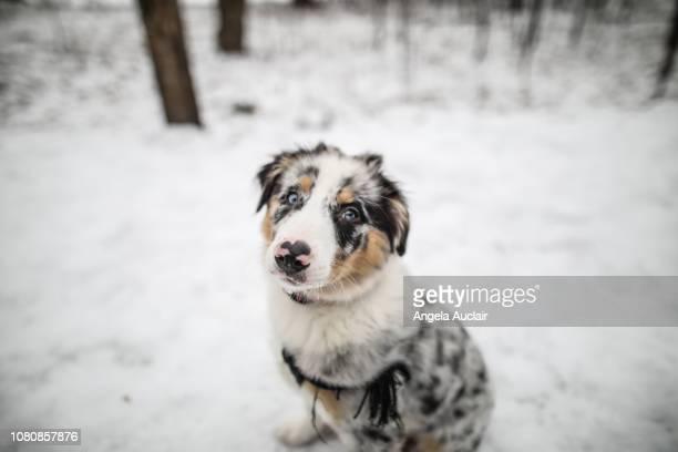 australian shepherd puppy in first snow - australian shepherd puppies stock pictures, royalty-free photos & images