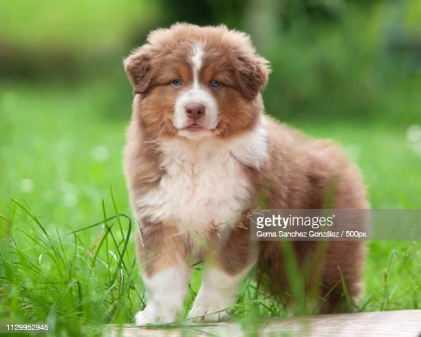 australian shepherd puppy looking at camera - australian shepherd puppies stock pictures, royalty-free photos & images
