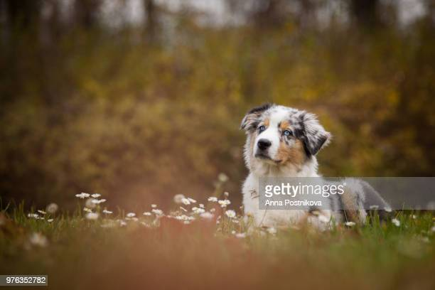 australian shepherd puppy lying in grass, prague, czech republic - australian shepherd puppies stock pictures, royalty-free photos & images
