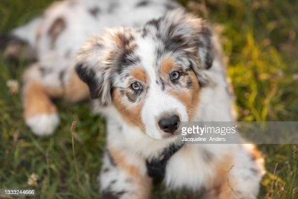 australian shepherd puppy lying on grass - australian shepherd dogs stock pictures, royalty-free photos & images