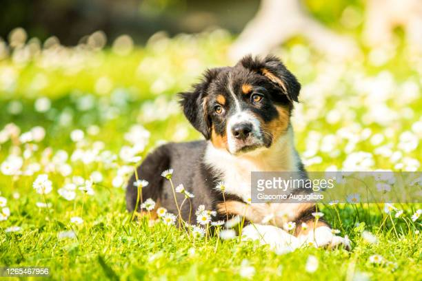 australian shepherd puppy lying on the grass, lombardy, italy - australian shepherd puppies stock pictures, royalty-free photos & images