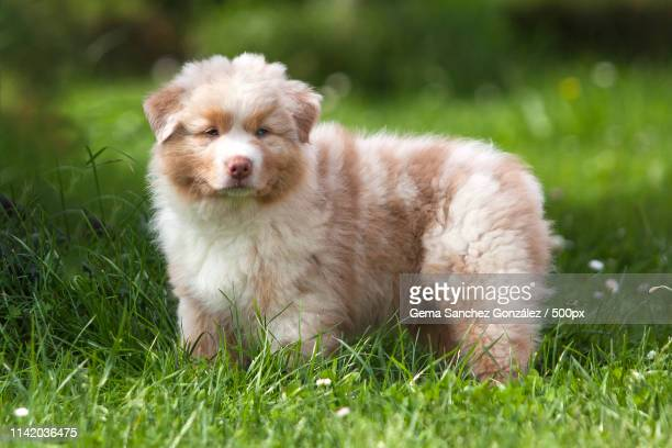 australian shepherd puppy - australische herder stockfoto's en -beelden