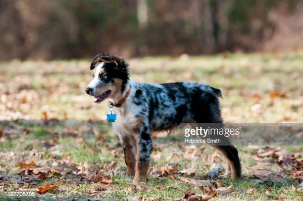 australian shepherd puppy - australian shepherd puppies stock pictures, royalty-free photos & images