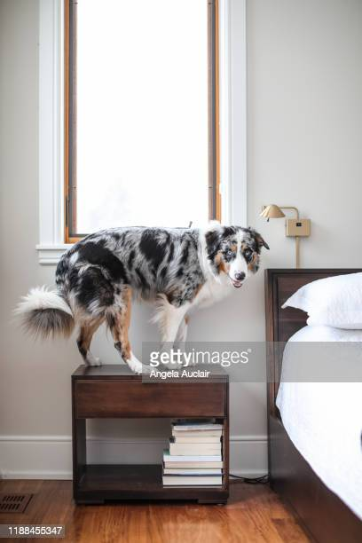 australian shepherd relaxing in a master bedroom - angela auclair stock pictures, royalty-free photos & images