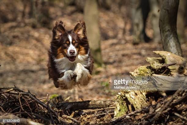 Australian Shepherd running in forest, Bonn, Nordrhein Westfalen, Germany