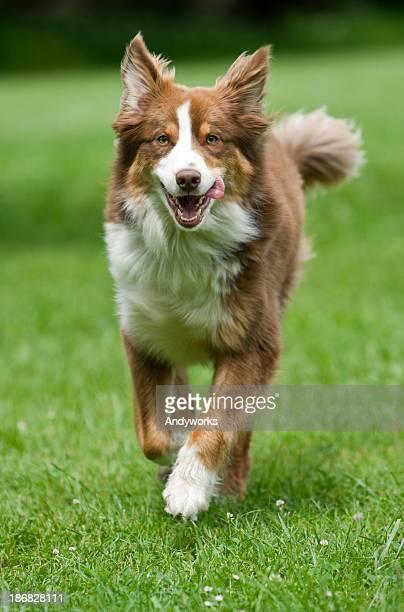 Australischer Shepherd läuft