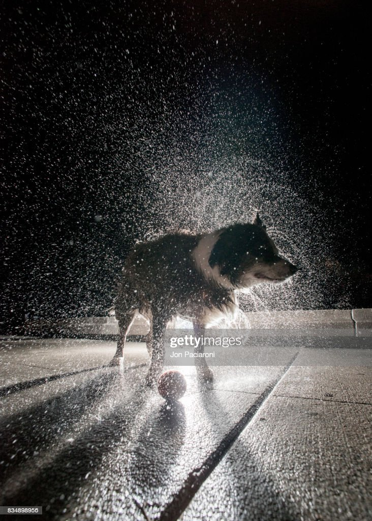 Australian Shepherd Shaking off Water : Stock Photo