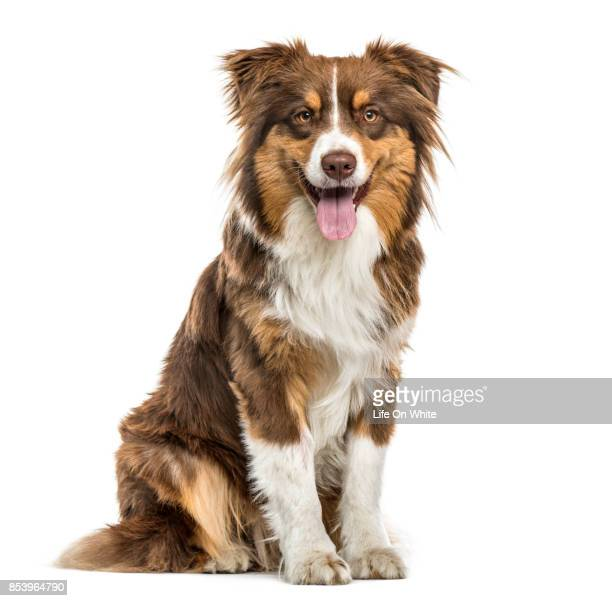 australian shepherd sitting and panting, isolated on white - australian shepherd dogs stock pictures, royalty-free photos & images