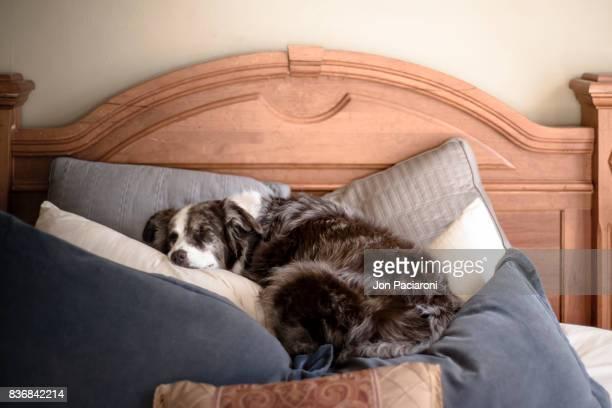 australian shepherd sleeping on a pile of pillows - australische herder stockfoto's en -beelden