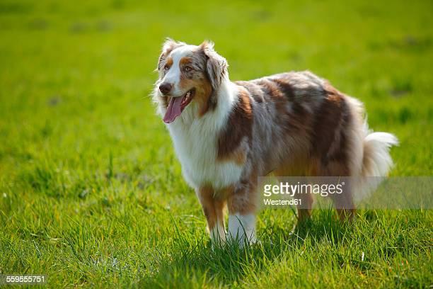 australian shepherd standing on a meadow - australian shepherd dogs stock pictures, royalty-free photos & images