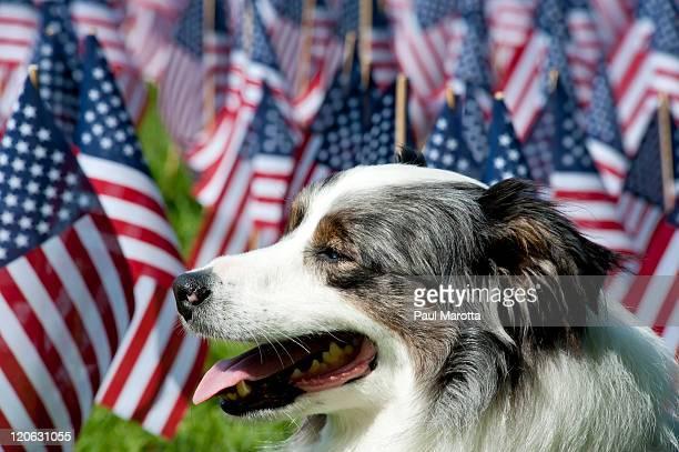 Australian shepherd surrounded by american flags