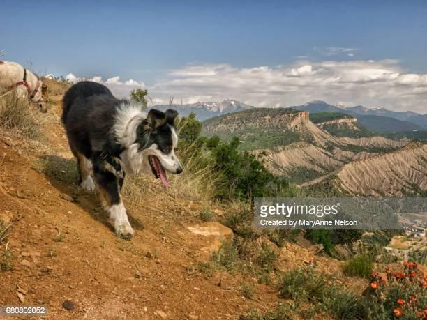 Australian Shepherd Walking Down the Mountain