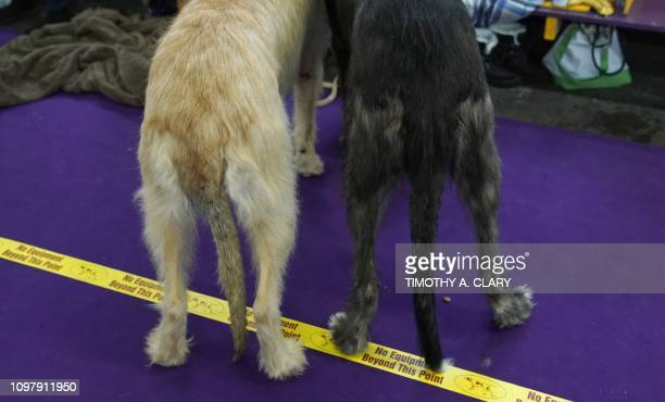 Australian Shepherds are seen in the benching area during the Daytime Session in the Breed Judging across the Hound, Toy, Non-Sporting and Herding...