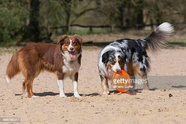 Australian shepherds want to play