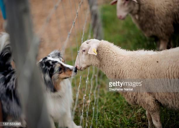 australian shipperd with sheeps - australian shepherd herding stock pictures, royalty-free photos & images