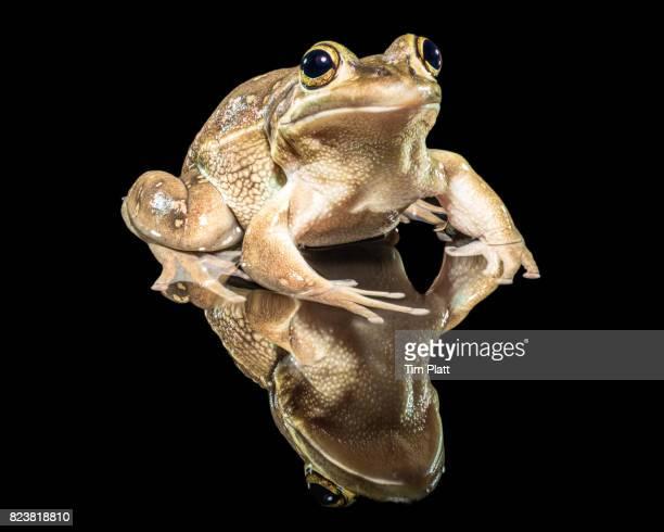 Australian tree frog #1