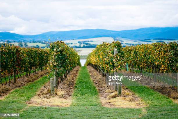 Australian vineyard in autumn, Yarra Valley, Victoria
