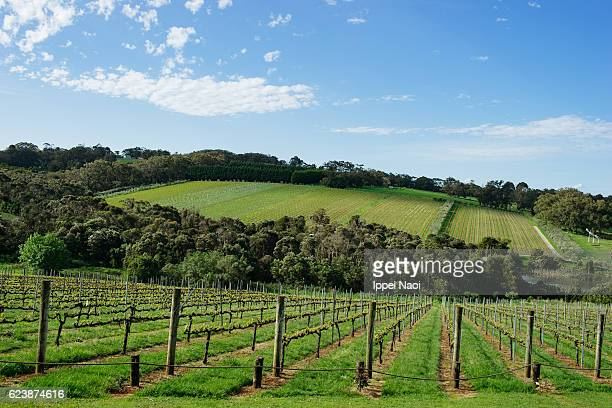 Australian vineyard in spring, Mornington Peninsula, Victoria