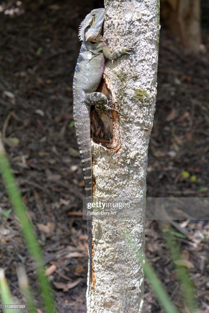 Australian water dragon climbing on a tree : Stock Photo
