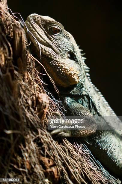 australian water dragon, physignathus lesueurii, australia - squamata stock photos and pictures
