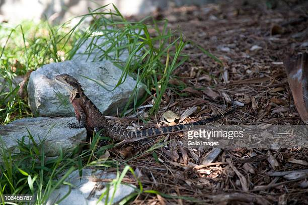 australian water dragon (physignathus lesueurii) resting in shade, manly, sydney, new south wales, australia - manly wilder stock-fotos und bilder