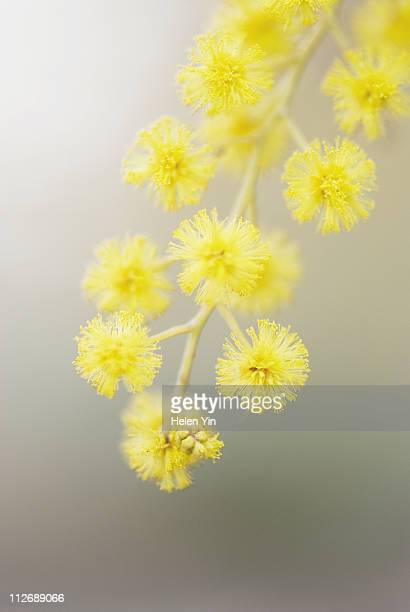 australian wattle flower - acacia tree stock photos and pictures