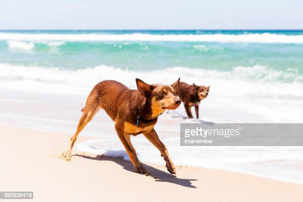 Australiand Red Kelpies playing on the beach, background, copy space