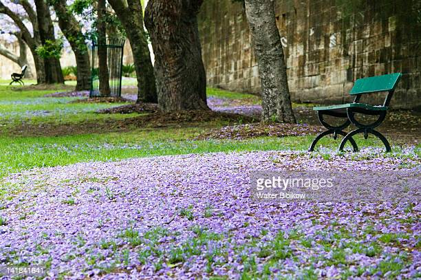 australia-new south wales (nsw)-sydney: paddington / oxford street- park bench with springtime jacaranda blossoms - jacaranda tree stock pictures, royalty-free photos & images