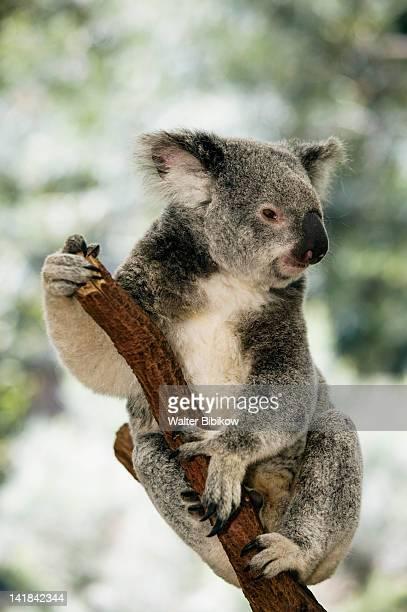 australia-queensland-brisbane area (fig tree pocket): lone pine koala sanctuary- koala (phascolarctos cinereus) - coala imagens e fotografias de stock