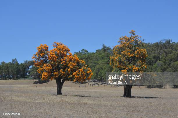 australia's giant parasitic christmas trees - rafael ben ari stock-fotos und bilder